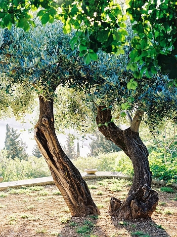 Beautiful olive oil tree