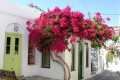 Picturesque alley embellished with vivid bougainvillea blossoms in Apollonia village, the capital of Sifnos island