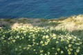 Flower beds down to the cliffs towards the Aegean Sea, Sifnos island