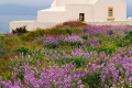 Countryside chapel near a summer flower bed, Santorini island